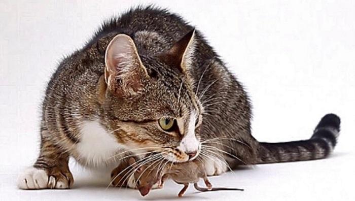 Cách đuổi chuột ra khỏi nhà hiệu quả và an toàn-6